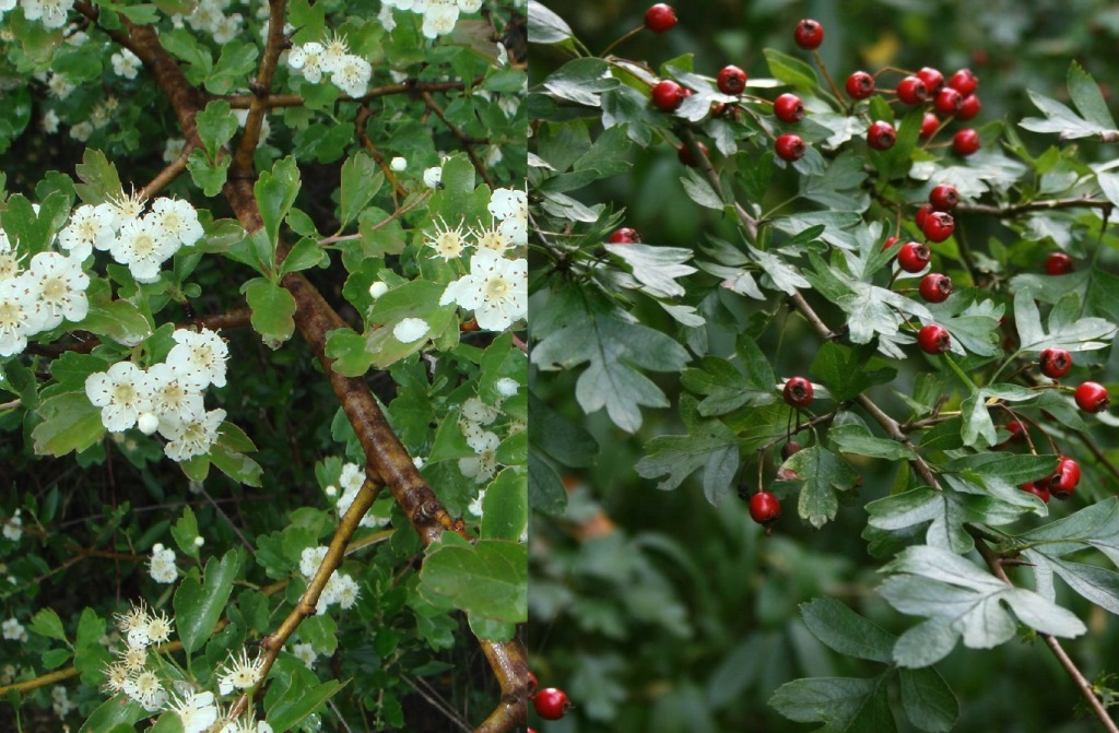 Five of the best native hedging plants small white fragrant flowers appear in early spring and turn to small red berries in the autumn providing much needed mightylinksfo