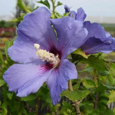 Hibiscus Syriacus Oiseau Bleu Blue Bird Palmstead