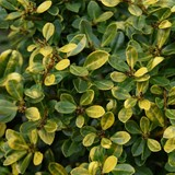 Ilex Crenata Golden Gem Palmstead